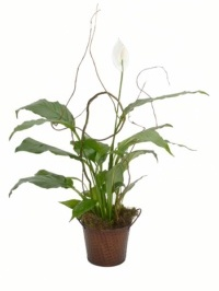 Peace Lily With Willow Plant